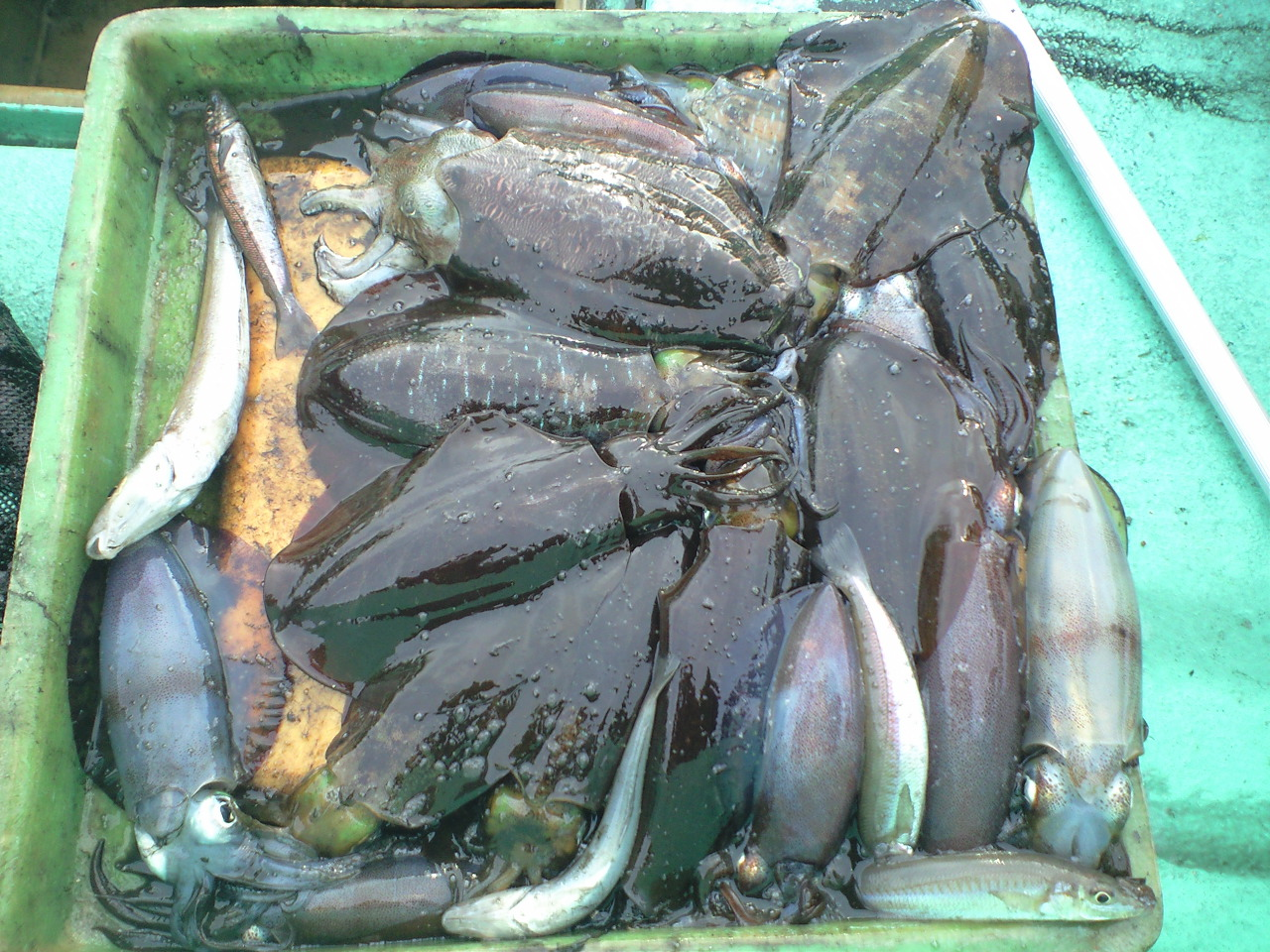 アオリイカ釣れました…もう毎日イカでした